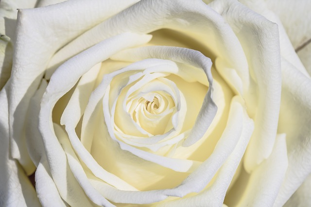 White Rose, Rose, Flower, Petal, Love, Flowers, Give