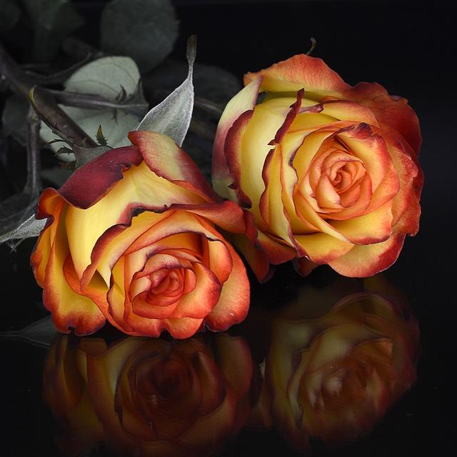 Rose, Flower, Petal, Floral, Love, Mirroring, Noble
