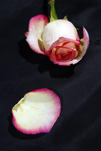 Rose, Flower, One, Petal, Withering, One Rose