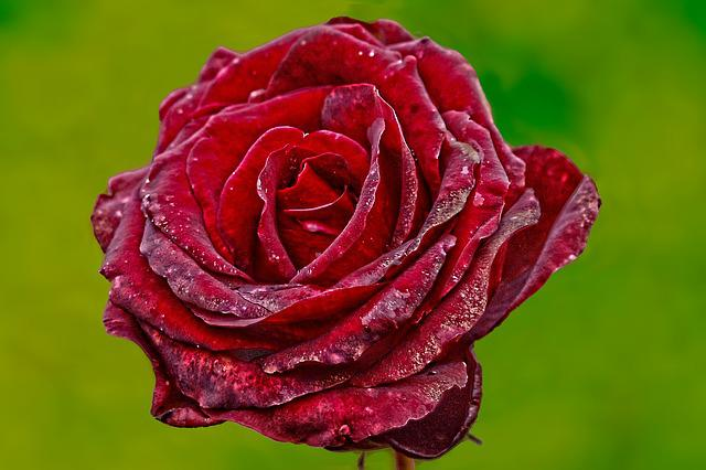 Rose, Flower, Red Rose, Red, Plant, Transient, Faded