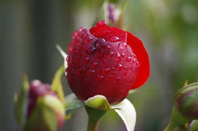 Rose, Flower, Rose Flower, Red Rose, Rose Garden