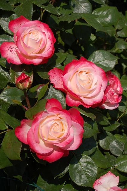 Roses, Rose Flower, Rose Garden