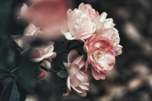 Bush, Rosebush, Roses, Flowers, Rose Flower, Pink