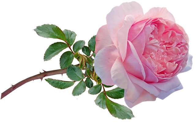 Flower, Pink, Rose, Stem, Bloom, Greeting Card