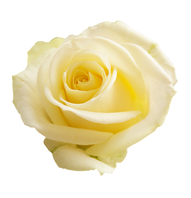Rose, Apg, Transparent Background, Flowers, Flower