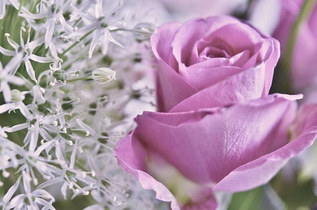 Rose, Lila, Pink, Roses, Flowers, Rose Blooms, Flower