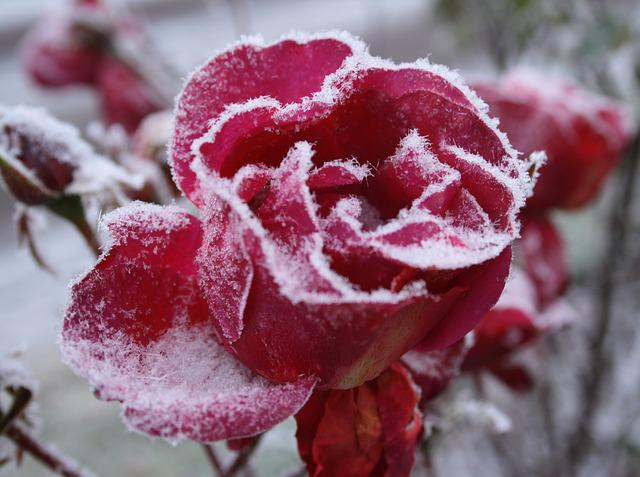 Nature, Winter, Flower, Frost, Rose, Cold