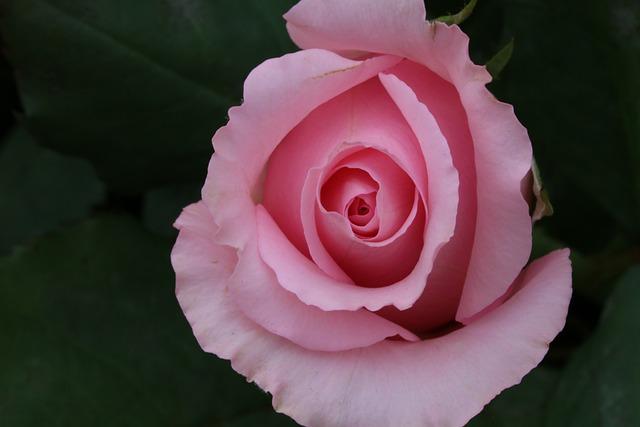 Rose, Flowers, Beautiful, Rose Garden, Nature, Spring