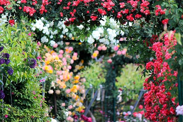 Rose, Roses, Rose Garden, From The Garden