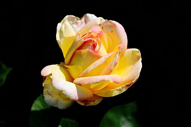 Rose, Yellow, Orange, Yellow Rose, Flower, Garden Rose