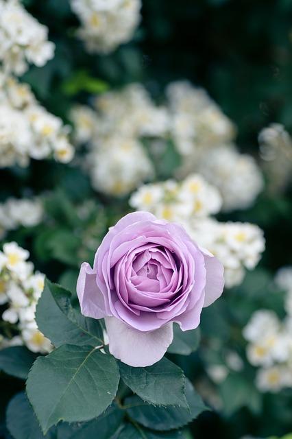 Natural, Plant, Rose, Flowers, Rose Garden