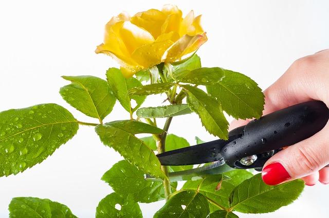 Rose, Pruning, Garden, Cut, Gardening, Cutting, Work