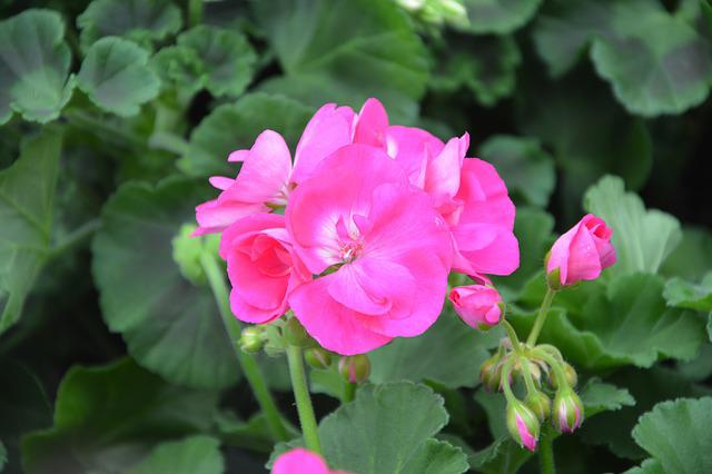Flower, Flower Of Geranium, Rose Geranium
