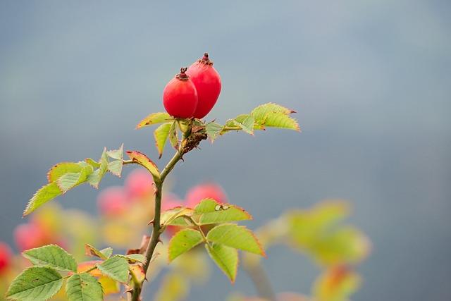 Rose Hip, Autumn, Wild Rose, Red