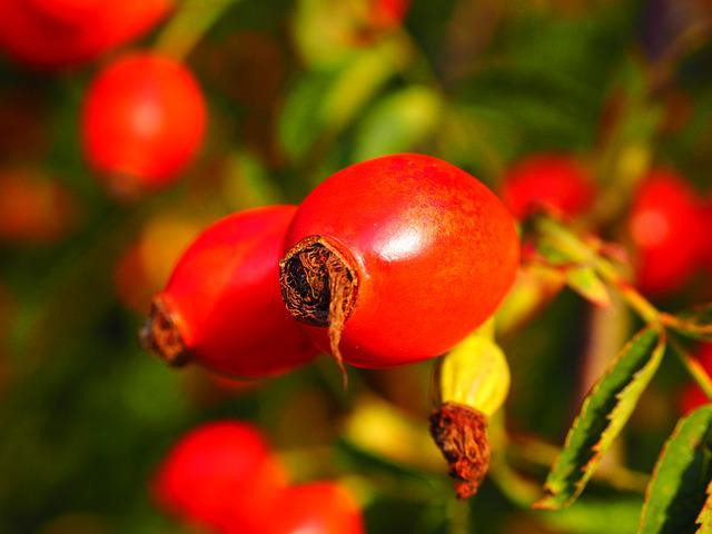 Rose Hip, Fruit, Red, Wild Rose, Plant, Sammelfrucht