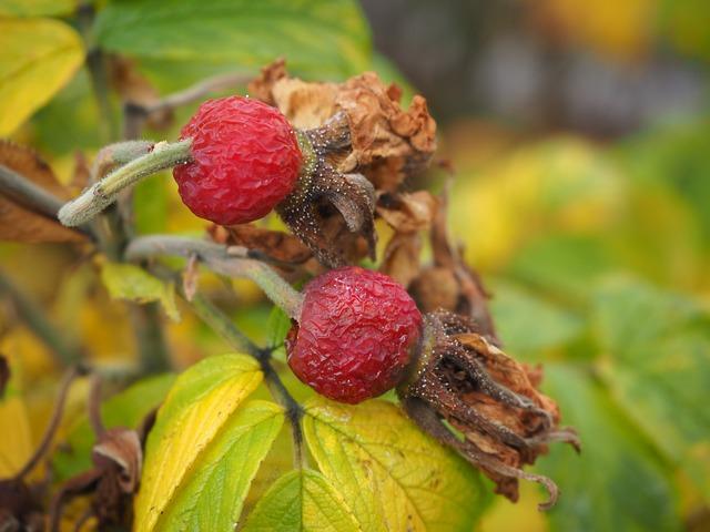 Rose Hip, Potato Rose, Withered, Autumn, Bush, Old