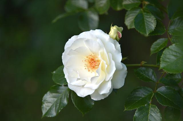 Inner Wheel Rose, Inner Wheel, White Rose, Rose