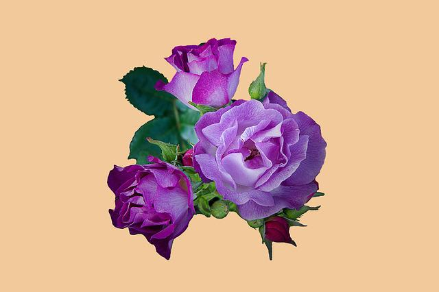 Rose, Purple, Petals, Background, Isolated