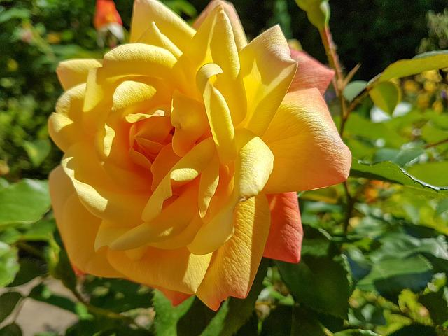Yellow, Rose, Flower, Vicky, Yellow Roses, Macro, Plant