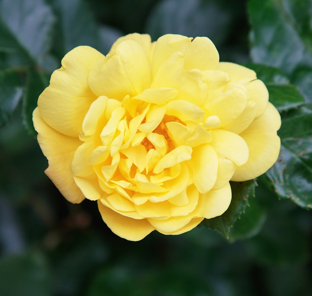 Rose, Yellow, Flower, Nature, Petals, Close-up, Details