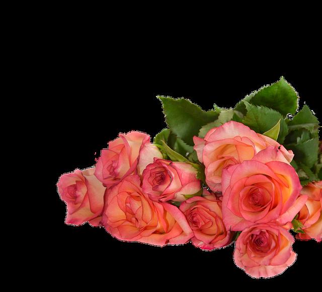 Rose, Flowers, Nature, Transparent Background
