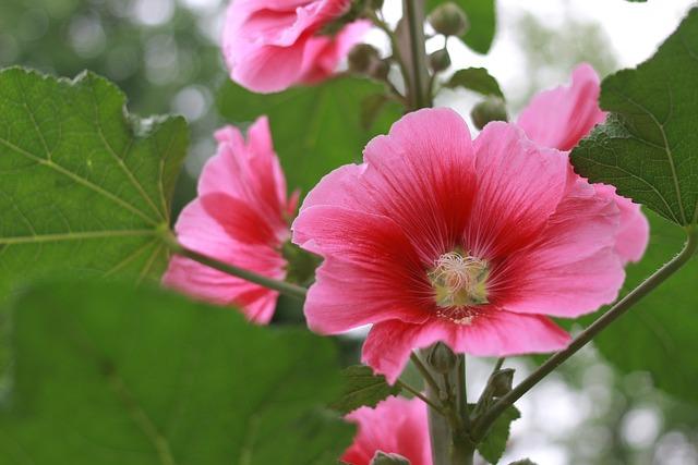 Hibiscus, Chrysanthemum, Flowers, Rose Of Sharon