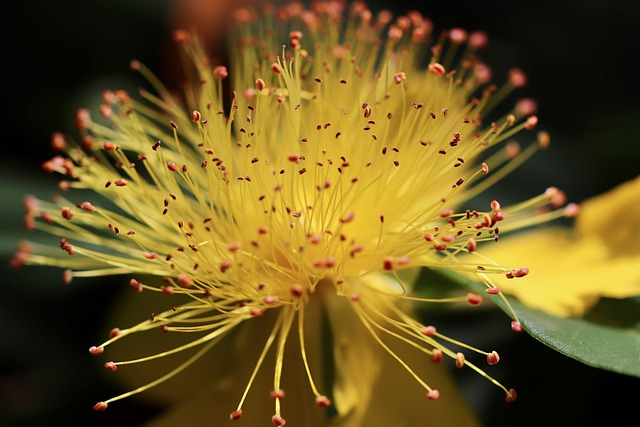 St John's Wort, Rose Of Sharon, Stamens, Large-blooded