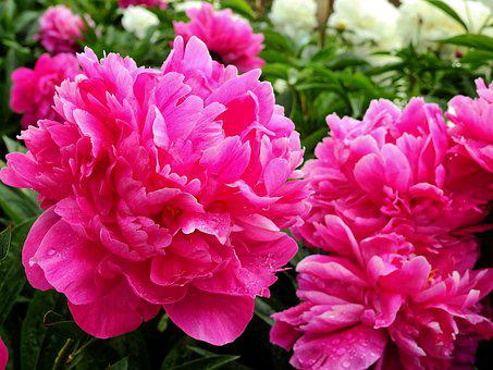 Flower, Blossom, Bloom, Bloom, Rose, Peony, Pentecost