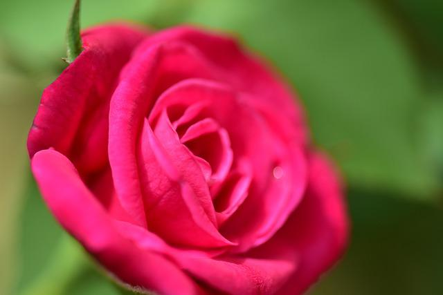 Flower, Rose, Petal, Nature, Love