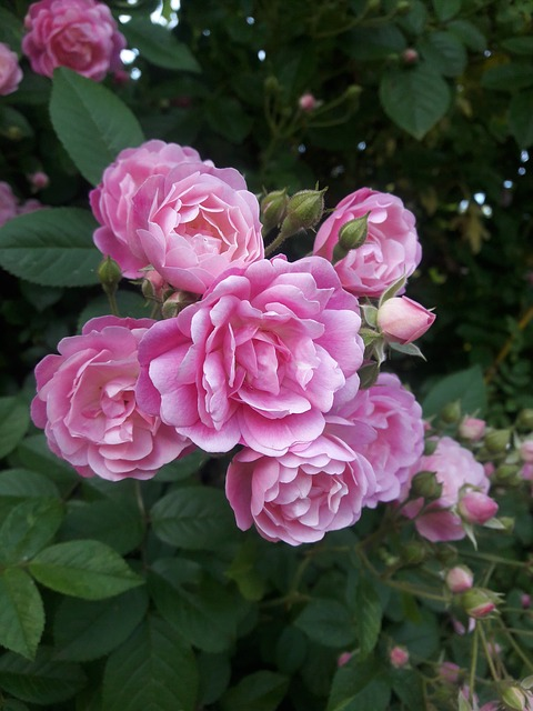 Rose, Rose Garden, Nature, Flowers, Pink Flower