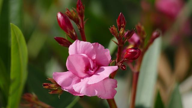 Oleanders, Blossom, Bloom, Light, Summer, Pink, Rose