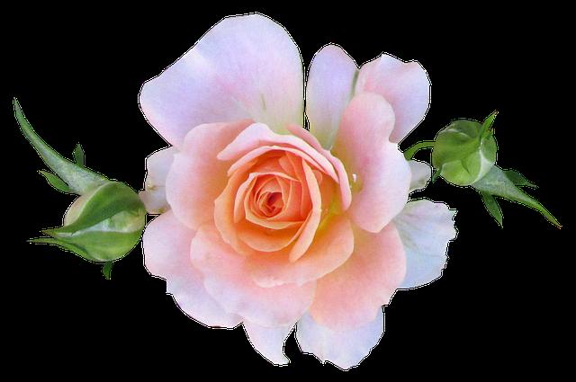 Pink, Mini, Rose