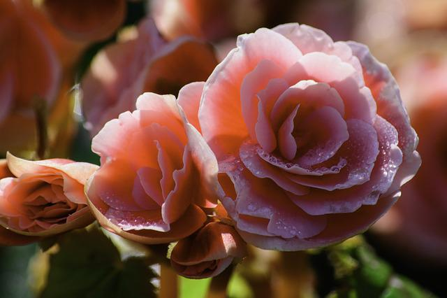 Rose, Pink Roses, Flowers, Pink, The Pink Flowers
