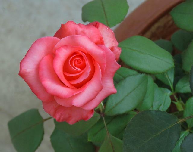 Just Rose, Rose Flower, Flower, Rose, Pink Red