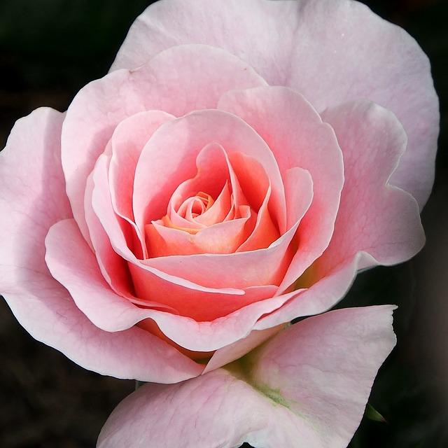 Flower, Rose, Blossom, Bloom, Fragrant, Pink Rose