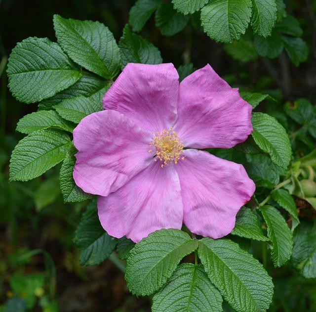 Wild Rose, Rose, Pink, Flower, Rose Family, Plant