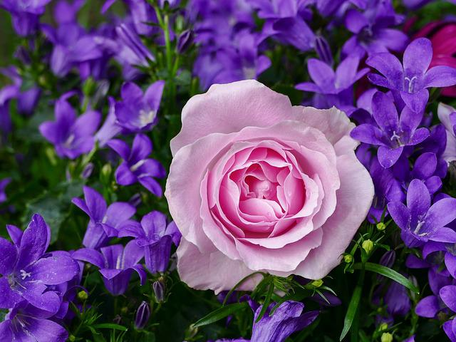Rose, Flower, Pink, Plant, Nature, Flowers, Romantic