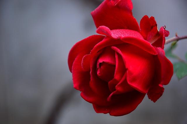 Rose, Blossom, Bloom, Plant, Flower, Rose Bloom, Red