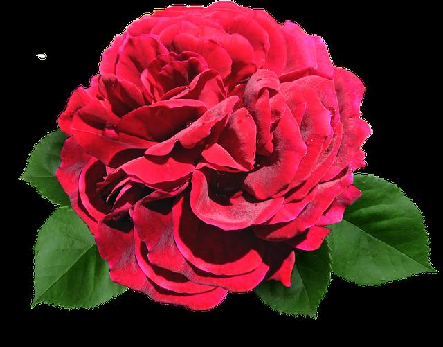 Rose, Red, David Austin, Cut Out