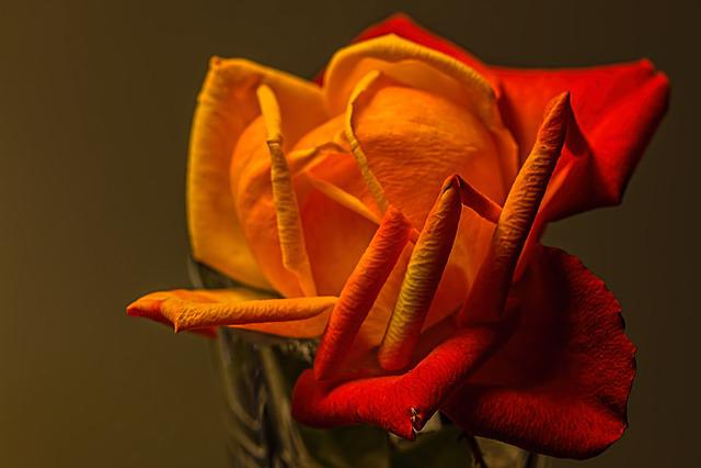 Rose, Yellow, Romantic, Petal, Romance, Flower