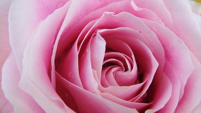 Pink, Rose, Flower, Close Up, Still Life, Romantic