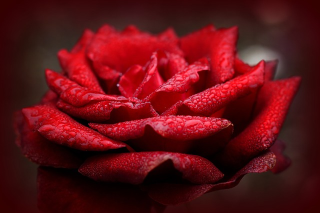 Rose, Love, Red, Romantic, Valentine's Day, Rose Bloom
