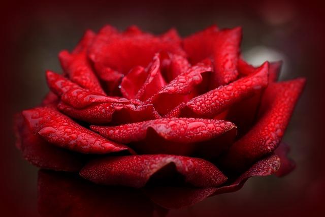 Rose, Love, Red, Romantic, Valentine's Day, Rose Bloom