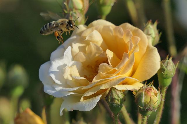 Rose Bloom, Honey Bee, Close, Rose, Yellow, Bee, Nature