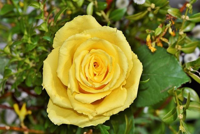 Rose, Yellow Rose, Garden Rose, Rose Bloom