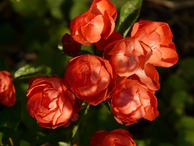 Rose Bud, Rose Flower, Rose, Rosebush, Spherical