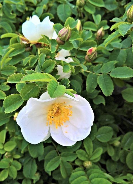 Plant, Rose, Rosebush, Wild Species, Garden