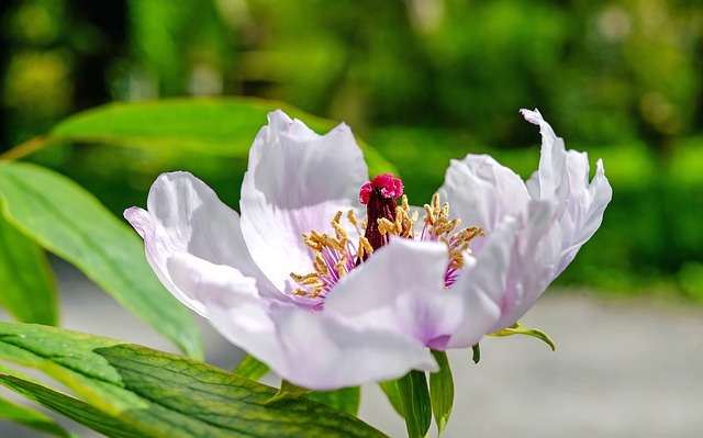 Peony, Flower, Blossom, Bloom, Flowers, Rose, Spring