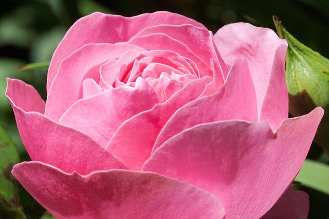 Rose, Pink, Green, Flowers, Summer, Flower, Roses