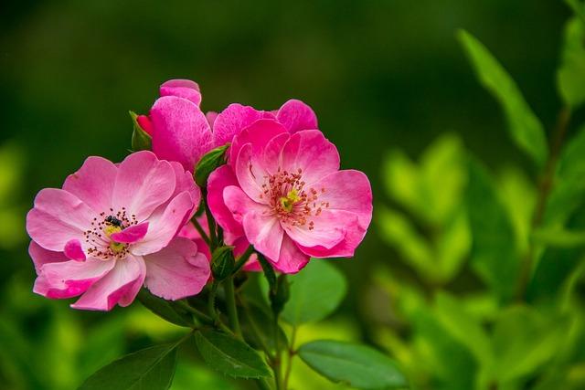 Rose, The Wild, Flower, Powder